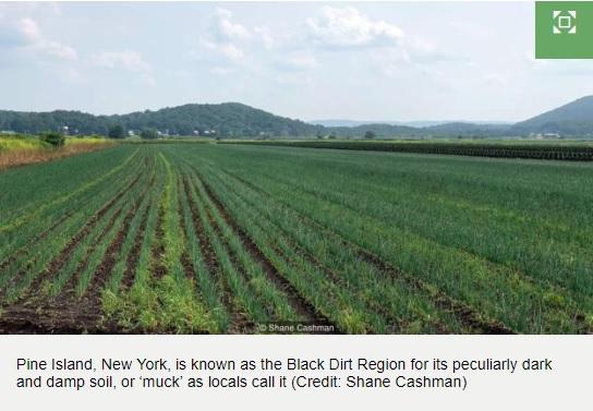 New Yorks beloved black dirt onions